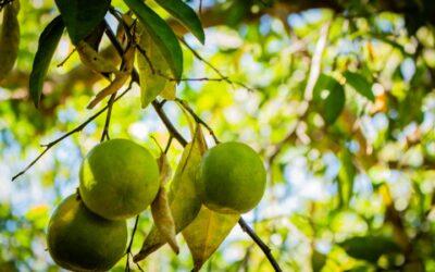 MATO GROSSO: BOAS PRÁTICAS DA AGRICULTURA FAMILIAR QUILOMBOLA